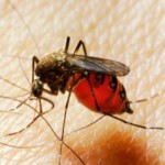 Une piqure de moustique filmée sous la peau