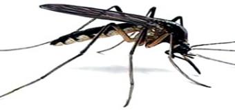 La solution anti moustique viendrait du moustique mâle
