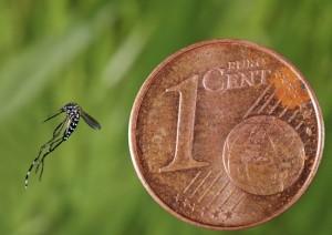 moustique-taille