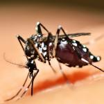 Le moustique, l'animal le plus meurtrier pour l'homme