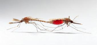 Des moustiques génétiquement modifiés