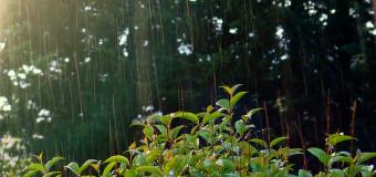 La météo humide et les moustiques tigres