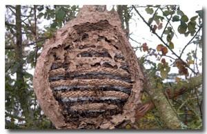 Intérieur nid de frelon asiatiques