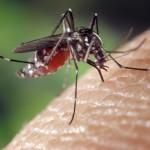 La contraception des moustiques, nouvelle arme