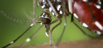 Un coupe-faim pour les moustiques !!